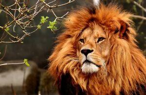 Lion (King Of Jungle) - Souvenir Nouveauté Réfrigérateur Aimant/Neuf /Animaux /