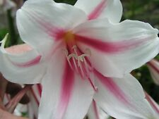 Crinum Lily, Herbertii 'Gulf Pride', Large, blooming-size bulb,  NEW, best one