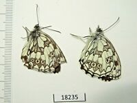 Butterflies, Lepidóptera, 18235, Satyridae sp., 2 pieces from Southern Russia