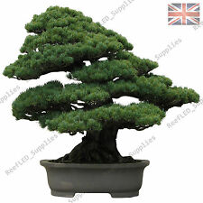 Rare pin noir japonais Bonsai Tree Seeds - 15 graines viables-uk vendeur