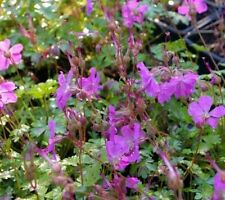 Geranium Evergreen Perennial Flowers & Plants