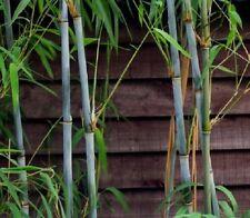 100+ fresh White Bamboo Seeds with instructions - Fargesia / Borinda Albocerea