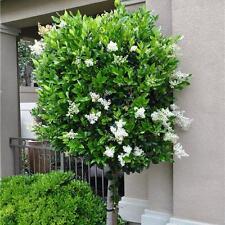 Ligustrum japonicum Texanum Japanischer Liguster winterhart 43265981