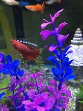 New listing *Discounted* Female Betta Fish Sorority Long Fin Mystery Pack *Us Only*