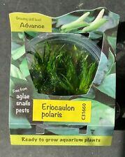 Live Aquatic Plant | Eriocaulon polaris | Tissue Culture