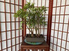 Ficus Salicifolia/Nerifolia Bonsai Tree Forest Total Of 5 Trunks