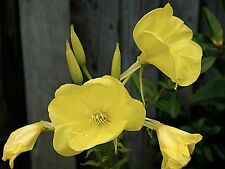 Evening Primrose Seeds, Oenothera biennis FREE SHIPPING
