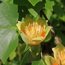15 TULIP POPLAR TREE Yellow Flower Liriodendron Tulipifera Whitewood Seeds +Gift