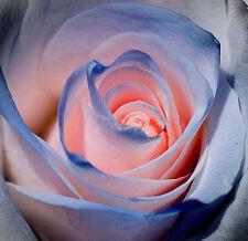 50  Rosen-Samen <Blaue und Rosa> , 99% Keimen-BLITZVESAND !!!