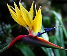 MANDELA'S GOLD Bird of Paradise Strelitzia reginae RARE plant in 140mm pot