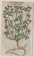 JOHN GERARD BOTANICA MATTHIOLI 1597 TRIFOLIUM TRIFOGLIO TREFOIL