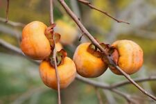 10 ITALIAN PERSIMMON TREE Dateplum Date Plum Fruit Diospyros Lotus Seeds + Gift