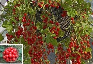 Honigtomaten exotische Pflanzen seltene Garten Rarität