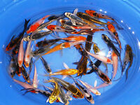 "6-Lot Assorted 2""-4"" Standard Fin Live Koi Fish for Pond Garden PKF"