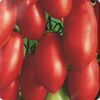 30pcs Rare Seed Red Tomato Pertsevidnyy-Pepper Organic Russian Heirloom Seeds