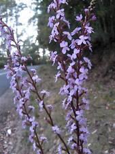 Stylidium graminifolium  Trigger plant  20+ seeds