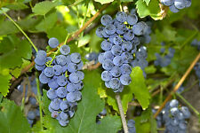 6 graines de VIGNE FRAMBOISIER(Vitis Labrusca)H458 FOX GRAPE SEEDS SAMEN SEMI
