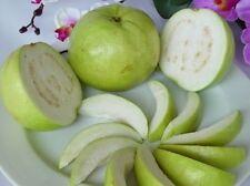 Sweet Guava 20 Seed Thai Tropical Fruit Fresh & Viable Seed PSIDIUM GUAJAVA