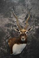 SKU 1737 Indian Black Buck taxidermy shoulder mount Outstanding Colors