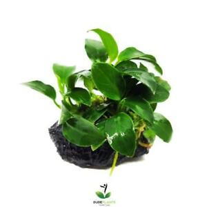 Anubias Nana Petite On Lava Stone Easy Live Aquarium Plant Betta Fish Tank Mini
