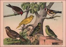 FINCH, GOLDFINCH, CHAFFINCH, LINNEL BIRDS scarce chromolithograph, original 1887