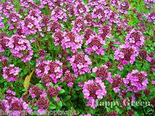 THYME - PURPLE CREEPING - 4200 SEEDS - Thymus Serpyllum - PERENNIAL