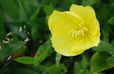1 Texas-Nachtkerze Steingartenpflanze mit gelben Blüten Oenothera missouriensis