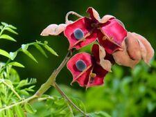 Majidea zanquebarica SEED Black Pearl tree Mgambo Exotic rare Beautiful velvet