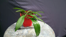 Bouture racinée rooted Cutting Hoya Pubicalyx Red Button (1)