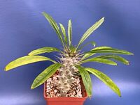 "PACHYPODIUM FIHERENSIS IN A 4"" POT, SEED GROWN SUCCULENT PLANT"