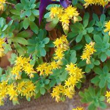 Plant raciné de SEDUM PALMERI fleur Vivace ORPIN
