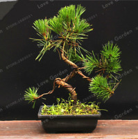 Thunbergii Bonsai Black Pine Tree Potted Plants Balcony Seating NEW 50 PCS Seeds