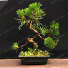 Thunbergii Bonsai Black Pine Tree Potted Plants Balcony Seating NEW 50 PCS Seeds