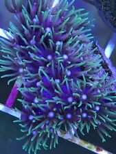 New listing Green Star Polyp Live Coral
