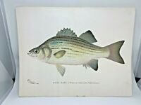 Original Antique Denton Fish Print White Bass