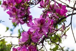 GUT Wunderschön anzusehen - der Orchideenbaum mit violetten großen Blüten !