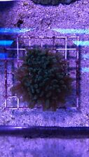 New listing live coral colony. Green/blue Hammer Coral 3+ Head Coral.