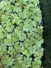 45 Pieces Salvinia Floating Plant - Freshwater Pond Or Aquarium