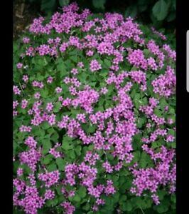 Green Oxlis Shamrock Lucky Clover 3 Bulbs Pink Flowers