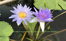 10 Seeds Nymphaea nouchali stellata Blue Star Lotus Water Lily Water Plant