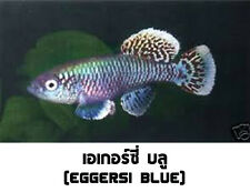 The Tropical Fish Killifish Nothobranchius Eggersi Blue 30 Eggs Easy Hatch