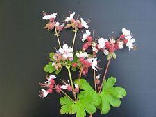 Storchschnabel Geranium x cantabrigiense Biokovo Sommerblüher