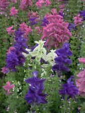 Clary - Corona Ramo Mix - Salvia horminum - 100 Semillas - Anual