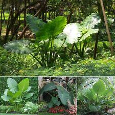 100Pcs Giant Taro Plant Seeds Alocasia macrorrhiza Elephant Heirloom Garden Home