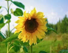 METAL REFRIGERATOR MAGNET One Large Sunflower In Field Yellow Flower