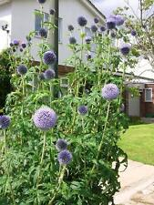 50+ Giant BLUE ECHINOPS 2017 Seeds Tall Hardy Perennial Globe Thistle