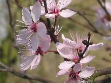 Cherry Plum Multi-Potency Bach Flower Essence Remedy 15 ml Losing Cool & Control