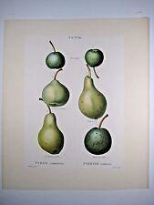 1800 Duhamel / Bessa: Poirier commun (pears) - hand-finished stipple engraving 2