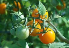 Bolivianische Obsttomate gelbe süße Wildtomate aus Bolivien Freiland geeignet