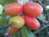 "1 plant 8"" tall Rare Vine Plant Elaeagnus Latifolia Cây Nhót Tropical Fruit"